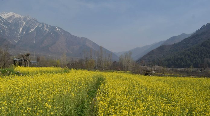 Mustard flowers in full bloom on the outskirts of Srinagar. —Excelsior/Shakeel
