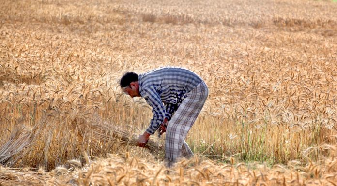 Wheat harvesting on the outskirts of Jammu. -Excelsior/Rakesh