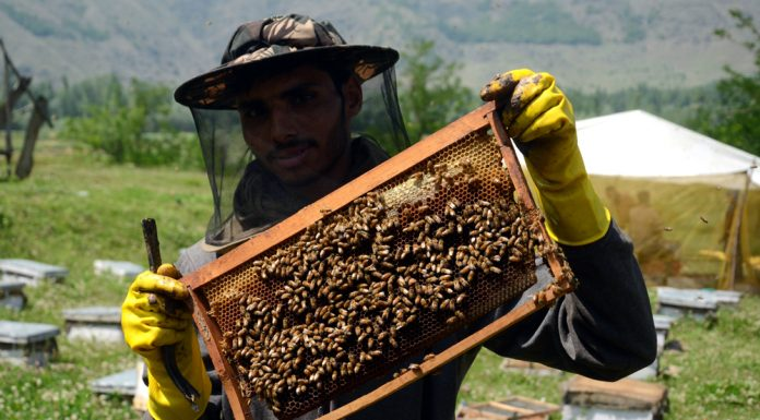 A beekeeper displays a beehive full of honeybees at a farm on the outskirts of Srinagar. -Excelsior/Shakeel
