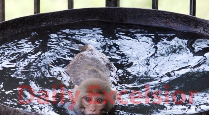 A monkey cools off in a water tub on a hot summer afternoon in Jammu. —Excelsior/Rakesh