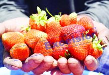 A fruit grower displays freshly harvested strawberries in Harwan, Srinagar. —Excelsior/Shakeel