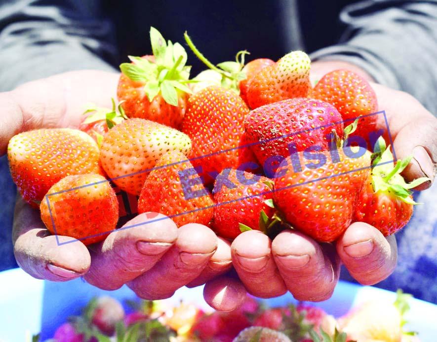 A fruit grower displays freshly harvested strawberries in Harwan, Srinagar. —Excelsior/Shakeel