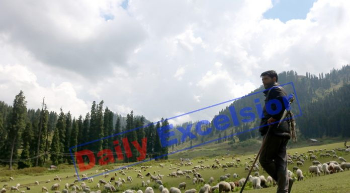 A shepherd walks with a flock of sheep at famous tourist destination of Doodpathri in Budgam district. —Excelsior/Shakeel