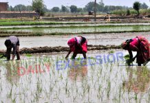 Farmers plant paddy saplings on the outskirts of Jammu. —Excelsior/Rakesh