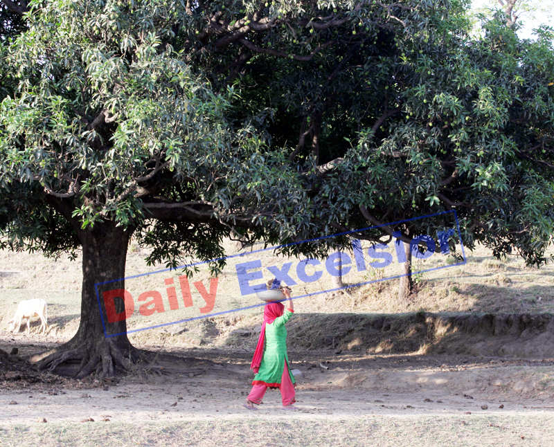Woman works in her field on the outskirts of Jammu. —Excelsior/Rakesh