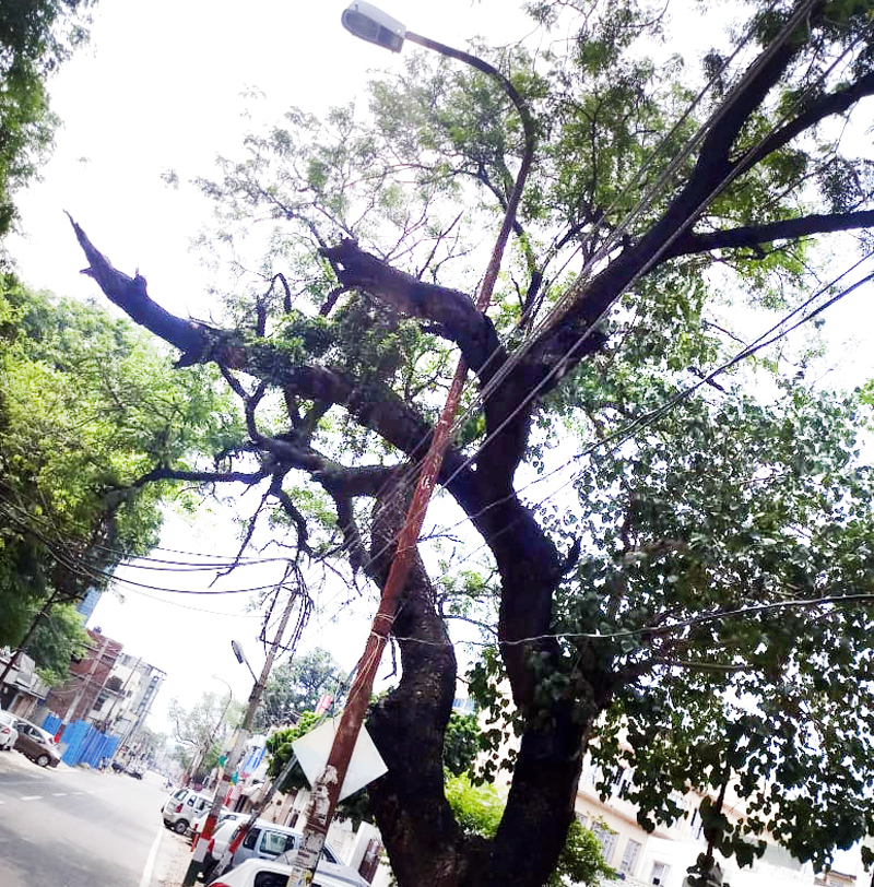 An old and fragile large tree at the verge of collapse on DC Office Road in Jammu.
