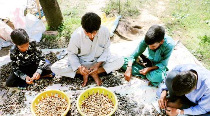 A family busy in harvesting almond crop in South Kashmir. -Excelsior Photo
