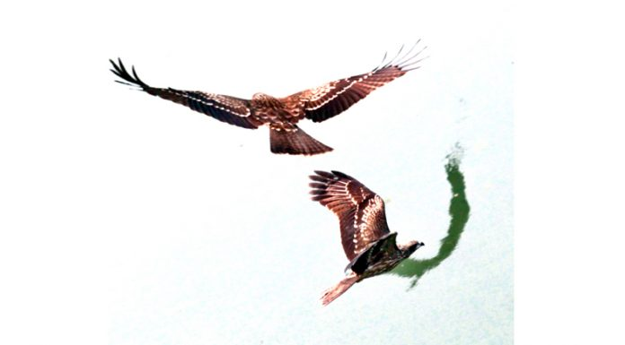 Eagles flying over river Tawi in search of food. —Excelsior/Rakesh
