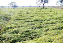 Paddy crop damaged due to windstorm and rain in Vijaypur area of Samba district.
