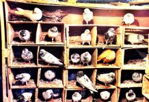 Pigeons resting in a man made coop in Jammu on Thursday, as many bird lovers keep pigeons and sparrows for sale in bird farms. (UNI)