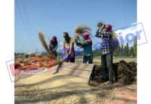 Farmers reaping bumper paddy crop on Srinagar outskirts. —Excelsior/Shakeel