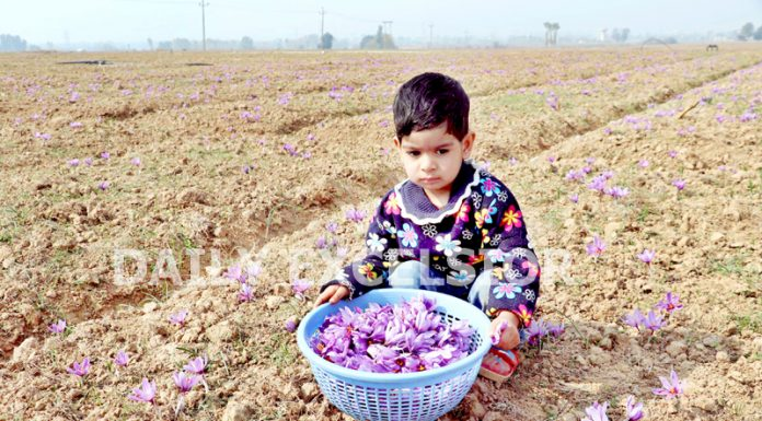 A boy poses with a bucket of saffron flowers in South Kashmir's Pampore town of Pulwama district. -Excelsior/Younis Khaliq