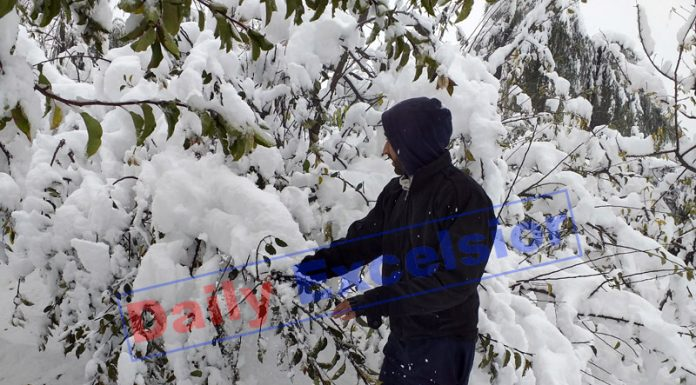 An orchard damaged in snowfall in Anantnag. —Excelsior/Sajad Dar