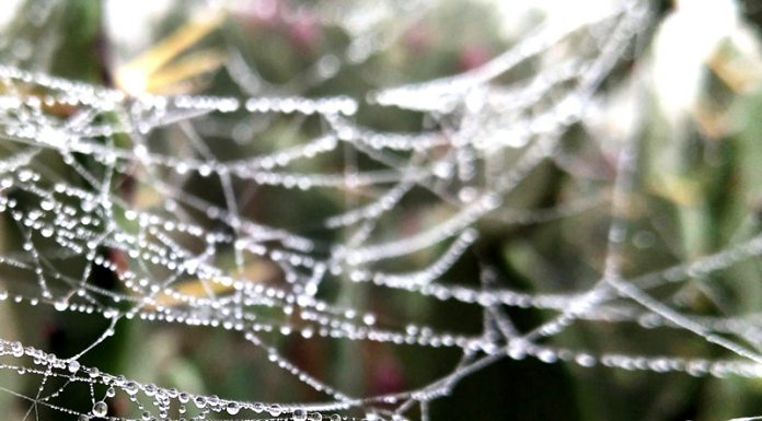 Early morning dew drops. -Excelsior/Rakesh