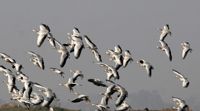 Migratory birds at Gharana wetland in RS Pura tehsil of Jammu on Monday. —Excelsior/Rakesh