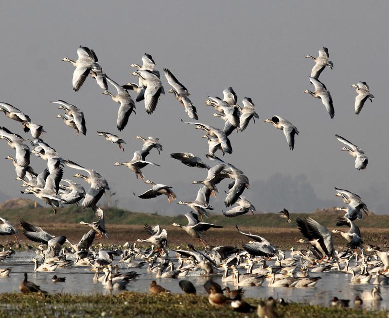 Migratory birds at Gharana wetland in RS Pura tehsil of Jammu on Monday. —Excelsior/Rakesh