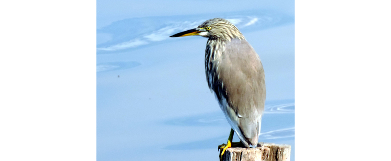 A kingfisher sitting on a wooden pole waiting to catch first prey of the day in Dal lake in Srinagar. (UNI)