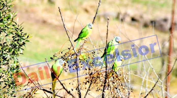 Parrots sitting on a tree in Mendhar on Friday morning. -Excelsior/Rahi Kapoor