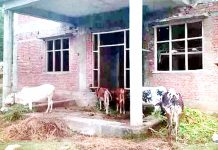 PHC building being used as cattle shelter by locals in Mendhar village. -Excelsior/Rahi Kapoor