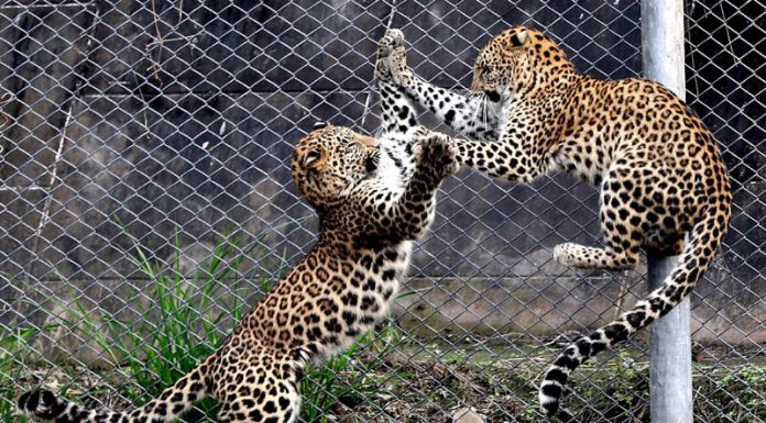 Leopard cubs in playing mood on a sunny day at Lucknow zoo. (UNI)