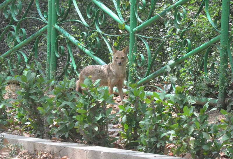 A jackal spotted at the Ridge at Sardar Patel Marg during the lockdown in New Delhi on Sunday. (UNI)