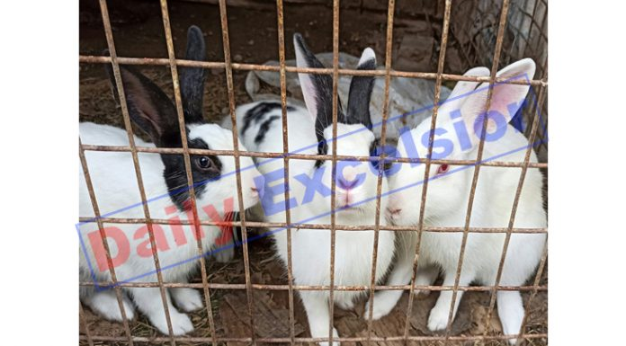 Rabbits in a farm house at Samba. —Excelsior/Abhishek Badyal