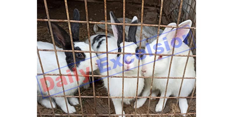 Rabbits in a farm house at Samba. —Excelsior/Abhishek Badyal