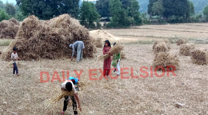 Maintaining social distancing, farmers work in their field in Samba on Wednesday. —Excelsior/Gautam