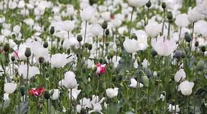 Poppy crop in full blossom in a Pulwama village.