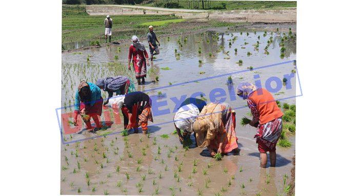 Women farmers plant rice saplings in a paddy field in North Kashmir's Kupwara district. -Excelsior/Aabid Nabi