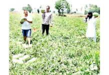 Farmers plucking watermelons in a field in Phallain Mandal area on Jammu outskirts.(UNI)