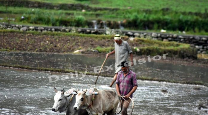 Farmer ploughing land in Mankot village of Mendhar in Poonch district.— Excelsior/Rahi Kapoor