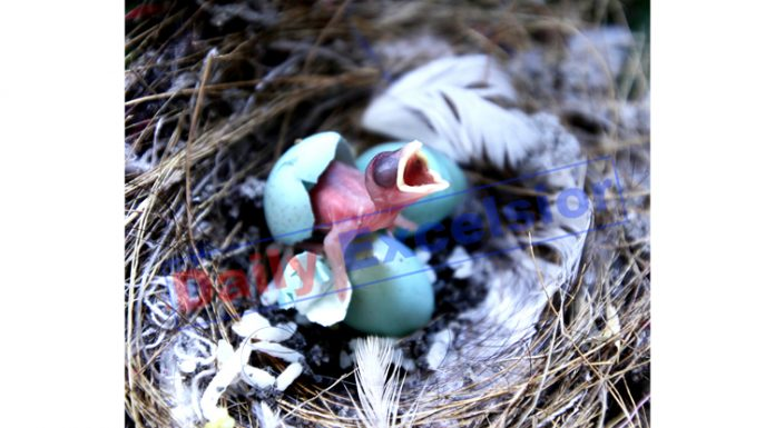 The Life begins... A baby sparrow coming out of an eggshell. —Excelsior/Rakesh