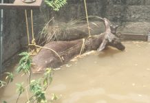Dead body of Sambar deer being fished out from water channel in Chenani area. —Excelsior/K Kumar