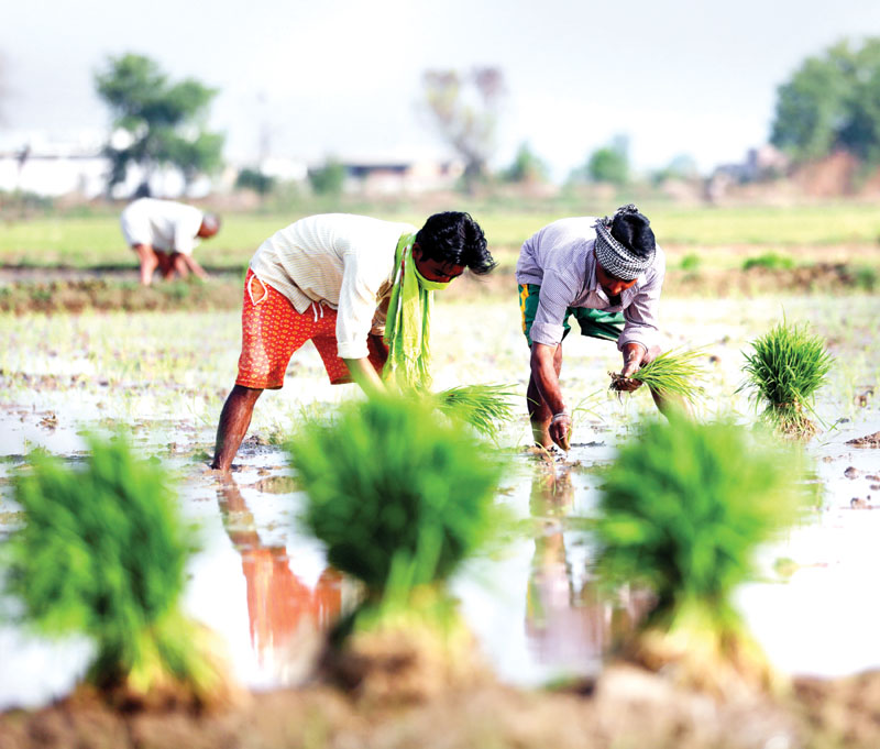 Farmers working in paddy fields on the outskirts of Jammu. -Excelsior/Rakesh