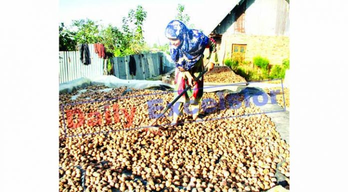 Walnut harvesting in North Kashmir. -Excelsior/Aabid Nabi