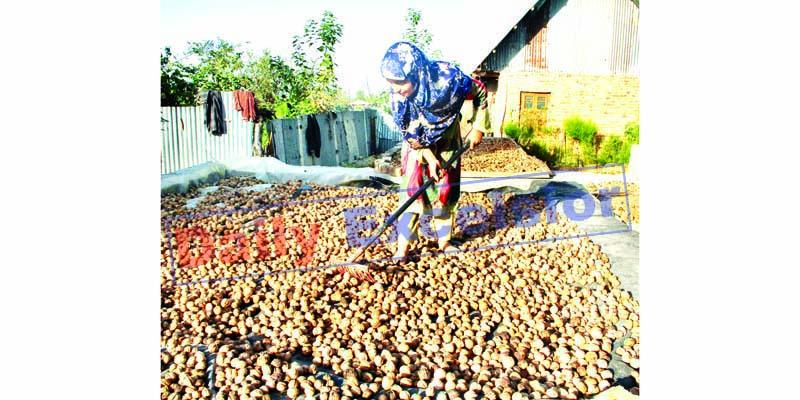 Walnut harvesting in North Kashmir. -Excelsior/Aabid Nabi