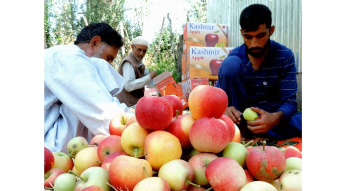 Kashmir's golden treasure Apple harvesting begins in outskirts of Srinagar to export it to other parts of the world amid pandemic Coronavirus on Sunday. (UNI)