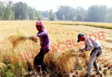 Farmers busy in harvesting paddy crop at Pahoo in Pulwama district. —Excelsior/Younis Khaliq