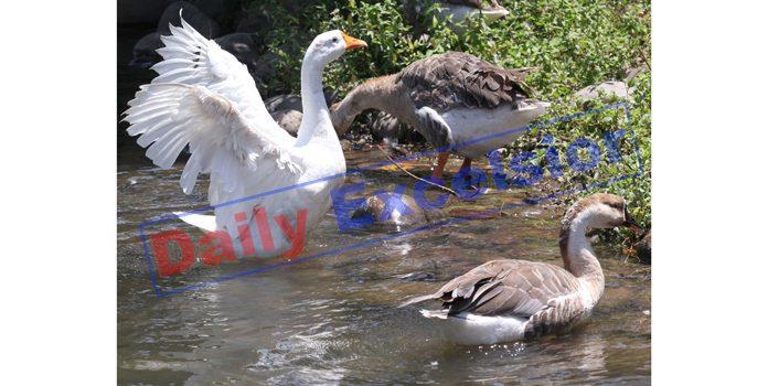 Ducks enjoying in a pond in Jammu. -Excelsior/Rakesh