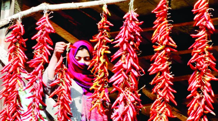 A woman hanging garlands of red chillies to dry them on the outskirts of Srinagar. (UNI)