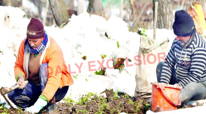 Farmers harvest Radish after removing snow from a field on a cold winter day in Srinagar. —Excelsior/Shakeel