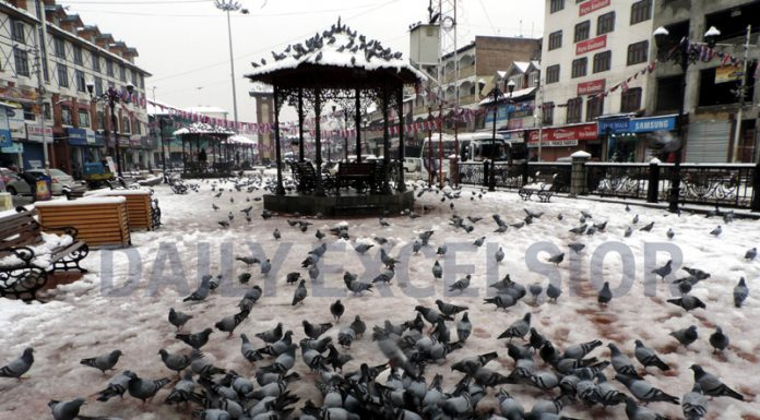 Pigeons taking corn seeds at Srinagar on Monday. (UNI)