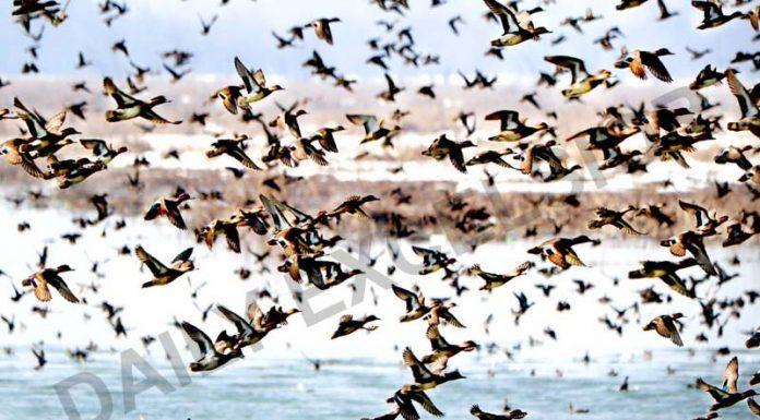 Migratory birds fly at a wetland in Hokersar, Srinagar. -Excelsior/Shakeel