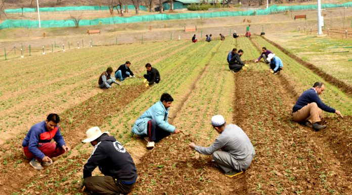 Gardeners busy preparing Tulip beds in Tulip garden Srinagar set to be thrown open for public shortly. —Excelsior/Shakeel