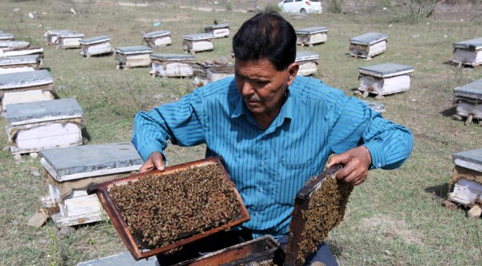 A man checks beehive full of honeybees at a farm on the outskirts of Jammu. -Excelsior/Rakesh