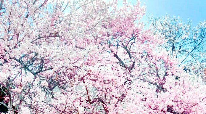 Apricot and almond trees in full bloom at Kargil. — Excelsior/Basharat Ladakhi