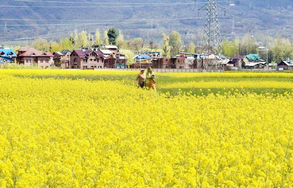 Mustard fields in full bloom in Srinagar. —Excelsior/Shakeel