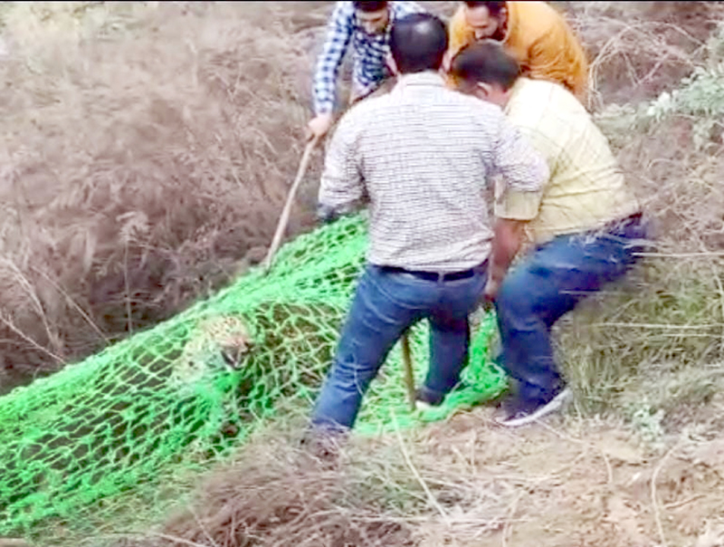 Wildlife Department officials capturing a leopard. -Excelsior/Rafi Choudhary