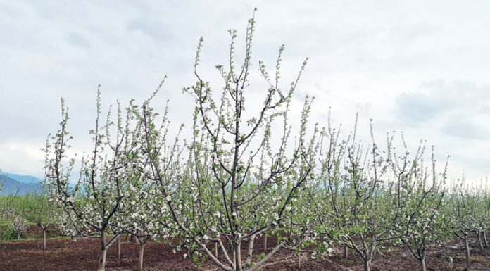 Apple trees are in bloom in South Kashmir. —Excelsior/Younis Khaliq